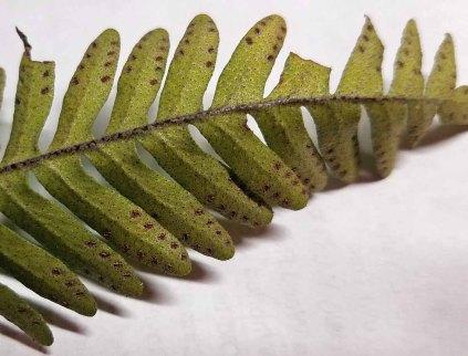 Resurrection Fern (Pleopeltis polypodioides)