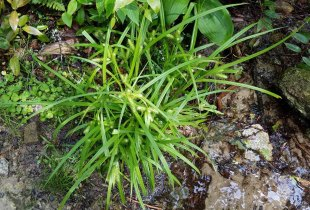 A Sedge (Carex sp.)