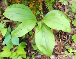 Appalachian Bunchflower (Veratrum parviflorum)