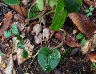 French Broad Heartleaf (Hexastylis rhombiformis)