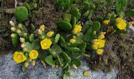 A Batch of Prickly Pear (Opuntia humifusa)