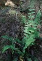 a Lip Fern (Cheilanthes sp.)