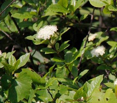 a Wild Raisin (Viburnum nudum sp.)