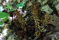 Caterpillar on a Bear Corn (Conopholis americana) - 01