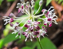 Very Spotted Wood Lily (Clintonia umbellulata)