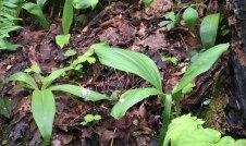 Clintonia umbellulata & Veratrum parviflorum comparison