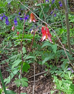 Columbine and Larkspur