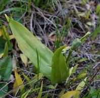 Dimpled Trout Lily (Erythronium umbilicatum) Fruit