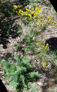 Divided-leaf Groundsel (Packera millefolia)