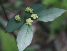Hearts-a-bustin' (Euonymus americanus)