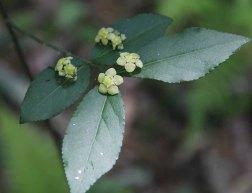 Hearts-a-bustin' (Euonymus americanus)