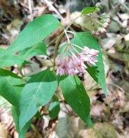 Four-leaved Milkweed (Asclepias quadrifolia)