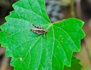 Another Grasshopper!