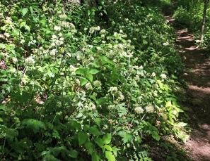 Large-flowered Waterleaf (Hydrophyllum macrophyllum)2