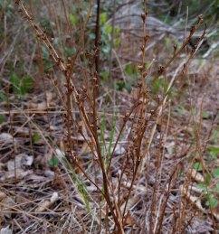Last Year's Beech Drops (Epifagus virginiana)