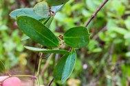 Laurelleaf Greenbrier (Smilax laurifolia)