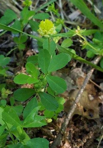 Trifolium campestre* (Low Hop Clover)