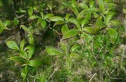 Alternate Leaf Dogwood (Cornus alternifolia)