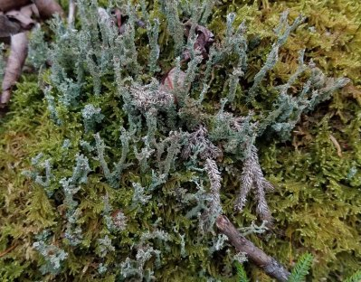 Mystery Cladonia