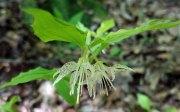 Nodding Mandarin (Prosartes maculata)
