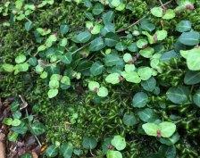 Partridge berry buds (Mitchella repens)