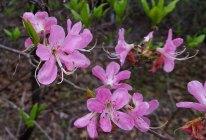 Pinkshell Azalea (Rhododendron vaseyi)
