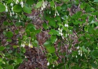 Sparkleberry (Vaccinium arboreum) Bloooms