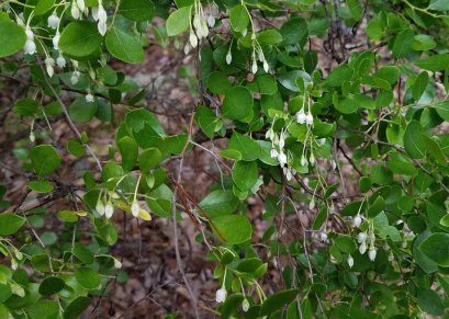 Sparkleberry (Vaccinium arboreum) Blooms