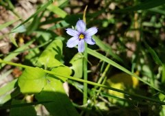 Stout Blue-eyed Grass (Sisymbrium altissimum)