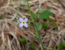 Thyme-leaved Bluets (Houstonia serpyllifolia)