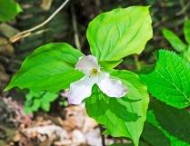 Large-flowered Trillium (Trillium grandiflora)