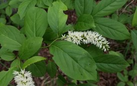 Virginia Willow (Itea virginica)