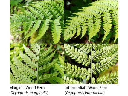 Wood ferns