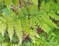Mountain Wood Fern (Dryopteris campyloptera)