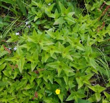 Mystery Plant. Any Ideas?