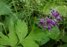 Appalachian Waterleaf (Hydrophyllum virginianum var. atranthum)