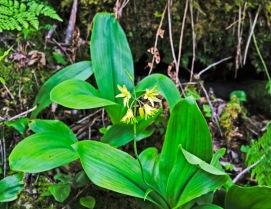 Bluebead Lily (Clintonia borealis)