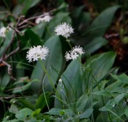 Clinton's Lily (Clintonia umbellulata)