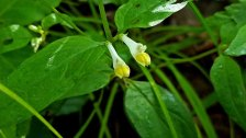 Cow Wheat (Melampyrum lineare)