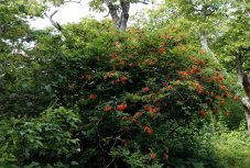 Flame Azalea (Rhododendron calendulaceum) 2