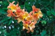 Flame Azalea (Rhododendron calendulaceum) 3