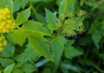 Hairy-jointed Meadow Parsnip (Thaspium barbinode) in Seed
