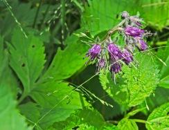 Appalachian Waterfleaf (Hydrophyllum virginianum var. atranthum)