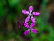 Deptford Pink (Dianthus armeria)