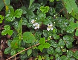 Dewberry (Rubus flagellaris)
