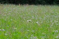 Ox-eye Daisy (Leucanthemum vulgare*)