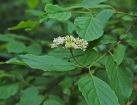 Withe-rod (Viburnum nudum)