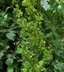 Curly Dock (Rumex crispus*) in Seed