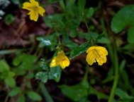 Golden Hedge Hyssop (Gratiola aurea)