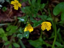 Golden Hedge Hyssop (Gratiola aurea)